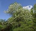 Halesia tetraptera.jpg