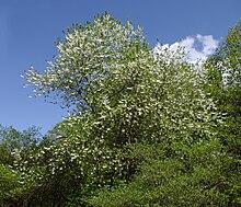 Halesia monticola httpsuploadwikimediaorgwikipediacommonsthu