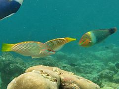 Checkerboard wrasse (Halichoeres hortulanus), in two types