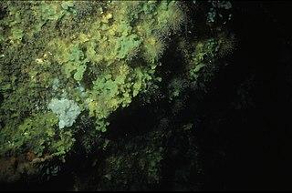 <i>Halichondria panicea</i> species of sponge