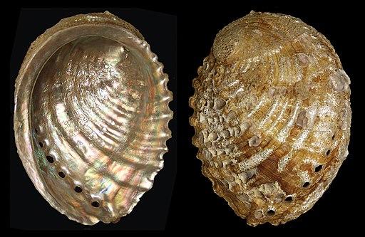 Haliotis mariae 135mm