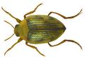 Haliplus ruficollis (DeGeer, 1774).png
