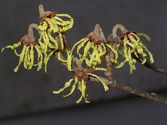 Witch-hazel - Image: Hamamelis flowers