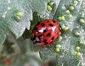 Harlequin ladybird (RL) (5855468779).jpg
