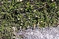 Harrimanella stelleriana s5.jpg