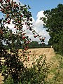 Harvested field and red berries - geograph.org.uk - 539700.jpg