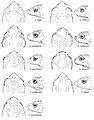 Head shape in dorsal and lateral views of Osornophryne males - ZooKeys-108-073-g010.jpg