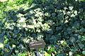 Hedera maroccana - Jardín Botánico de Barcelona - Barcelona, Spain - DSC09181.JPG