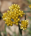 Helichrysum hyblaeum.png