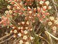 Helichrysum lineare, blomme, Tweeling, b.jpg