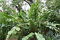 Heliconia Bushmaster 1zz.jpg