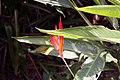 Heliconia psittacorum 21zz.jpg
