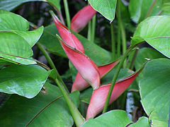 Heliconia stricta0.jpg