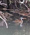 Heliornis fulica, a Sungrebe. (9013835076).jpg