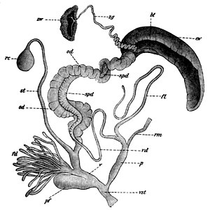 Reproductive system of gastropods - Image: Helix pomatia reproductive system