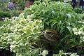 Helleborus lividus.jpg
