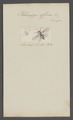 Helomyza - Print - Iconographia Zoologica - Special Collections University of Amsterdam - UBAINV0274 039 07 0025.tif