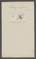 Helomyza - Print - Iconographia Zoologica - Special Collections University of Amsterdam - UBAINV0274 039 07 0025.tif