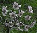 Heracleum sphondylium 2 RF.jpg