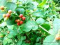 Herbal Berries.jpg
