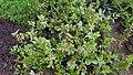 Herbiscus 02.jpg