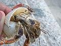 Hermit Crab (3856955281).jpg