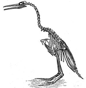 Hesperornis - Marsh's now-obsolete 1880 reconstruction of H. regalis.