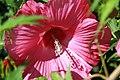 Hibiscus moscheutos Anne Arundel 4zz.jpg