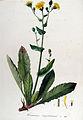 Hieracium amplexicaule — Flora Batava — Volume v13.jpg