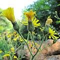 Hieracium vulgatum inflorescence (10).jpg