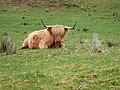 Highland Bull - geograph.org.uk - 441310.jpg