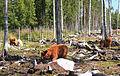 Highland cattle6.jpg
