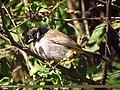 Himalayan Bulbul (Aves Tennantus) (15707234890).jpg