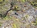 Himalayan Monal - Lophophorus impejanus - DSC09729.jpg