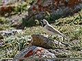 Horned Lark (Eremophila alpestris) (45091460034).jpg