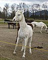 Horses white.jpg
