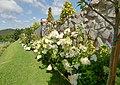 Hortensja bukietowa. (Hydrangea paniculata). 03.jpg