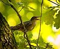 Hot starling (19347154024).jpg