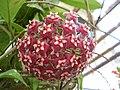 Hoya pubicalyx1AthenesEyes.jpg