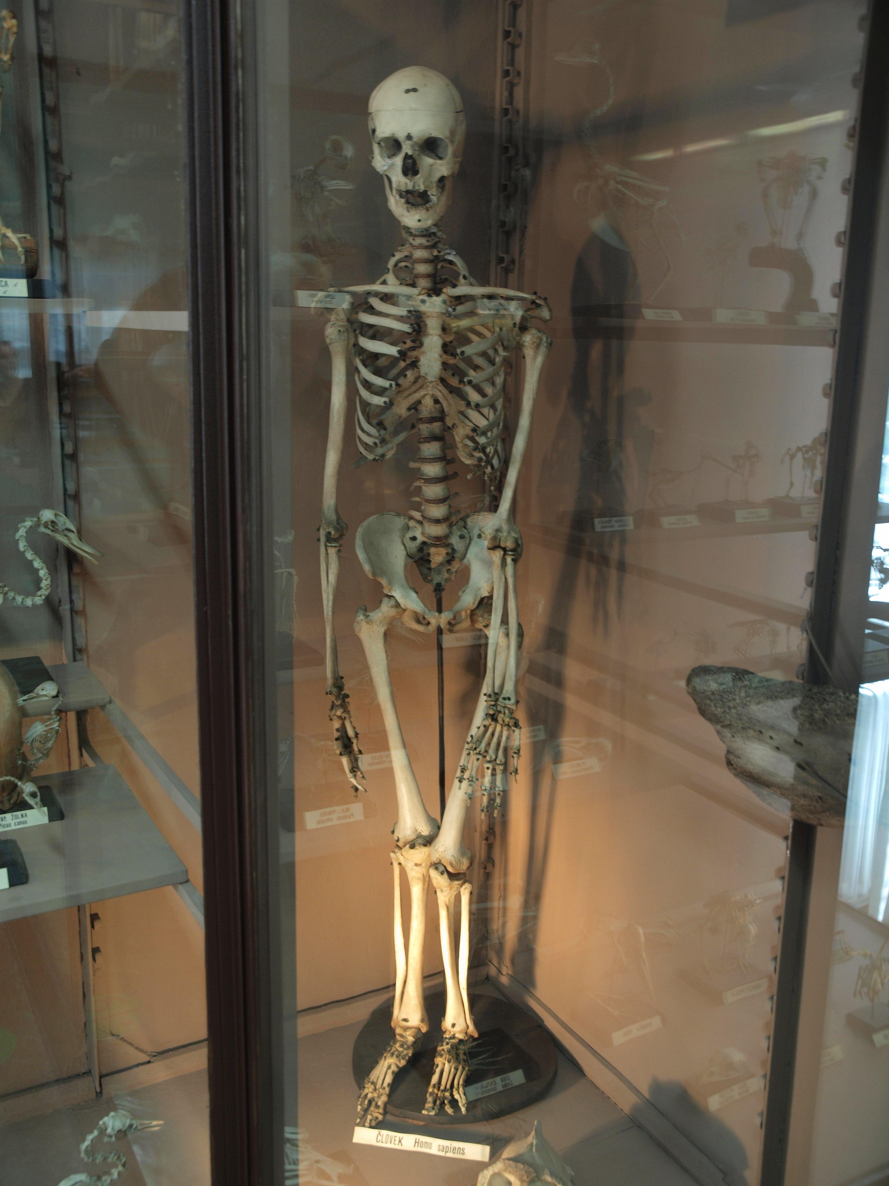 Filehuman Skeleton At The Slovenian National Museumg Wikimedia