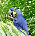 Hyacinth Macaw (Anodorhynchus hyacinthinus) feeding on palm nuts ... - Flickr - berniedup.jpg