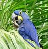 Hyacinth Macaw (Anodorhynchus hyacinthinus) feeding on palm nuts ... - Flickr - berniedup.jpg
