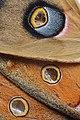 Hyalophora cecropia (cecropia moth) (41670180880).jpg