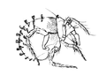 Hybalicus flabelliger.png