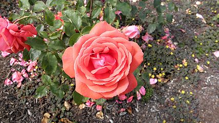Hybrid Tea - Fragrant Cloud 2 (cr).JPG