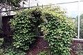 Hydrangea anomala petiolaris 8zz.jpg
