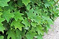 Hydrangea quercifolia IMG 9770.jpg
