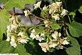 Hydrangea quercifolia Snowflake 1zz.jpg