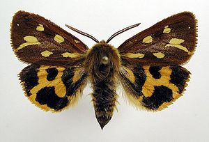 Hyphoraia aulica - Image: Hyphoraia aulica