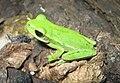 Hypsiboas pulchellus02.jpeg